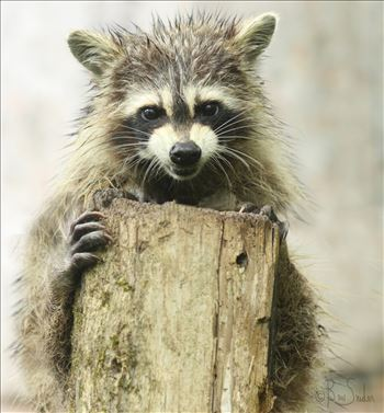 Raccoon 9462 - I am Feeling a Whole Lot of Crazy Today