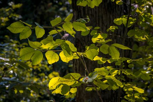 Glowing Leaves by Charles Smith Photography