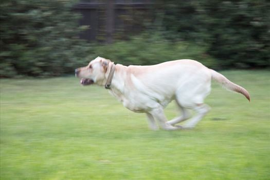 Running Dog by Charles Smith Photography
