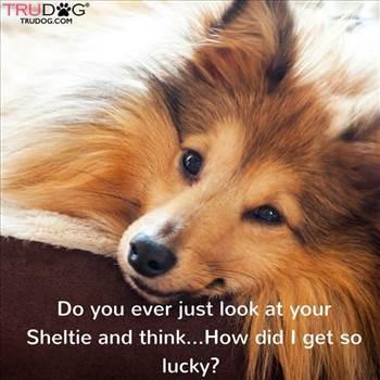 e8b012a263bbc9e2803c561fe2f5ef88--shetland-sheepdog-shiba.jpg by DianneD1