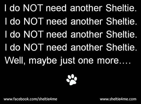 fdf56f6d2a09fbd2118c960c1ad38977--shetland-sheepdog-i-love-dogs.jpg by DianneD1
