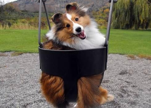 62f9c00035ce243c9d23dc233f05fdf6--shetland-sheepdog-dog-lady.jpg by DianneD1