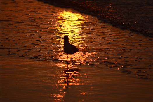 seagull at sunrise.jpg by WPC-372