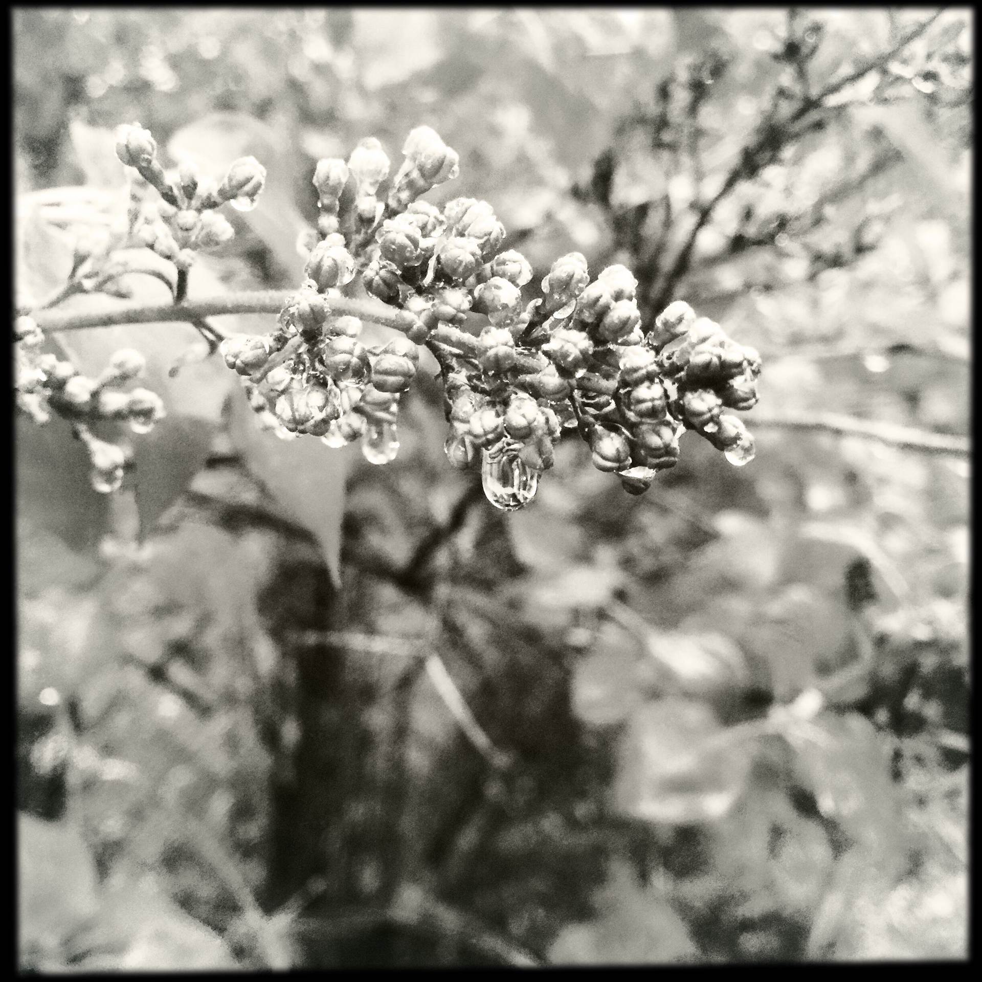 Lilacs And Raindrops.Lilacs and Raindrops in Black and White