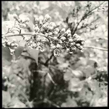 Lilacs And Raindrops. - Lilacs and Raindrops in Black and White