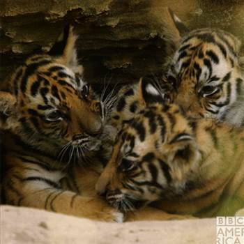 tigers.gif -