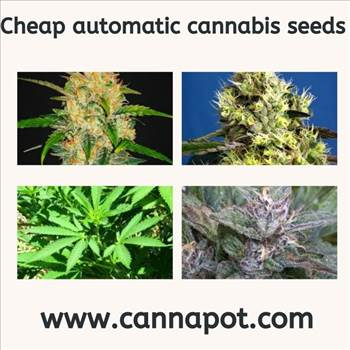 Cheap automatic cannabis seeds.jpg by Cannapot