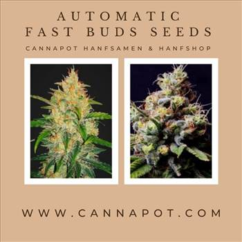 Automatic Fast Buds seeds (6).jpg by Cannapot