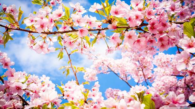 springtime_8-wallpaper-1366x768.jpg by Acef Ebrahimi