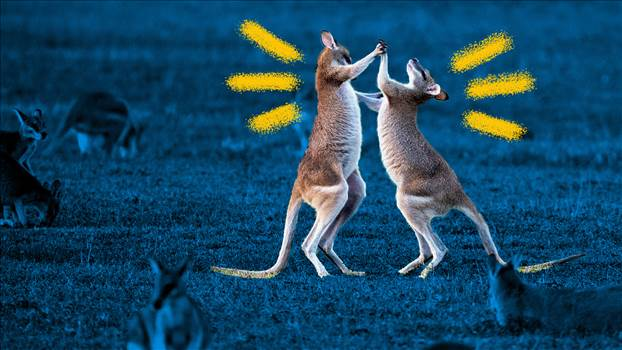 kangaroos-fighting-illustration-data.jpg -