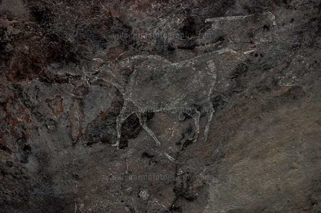 Archaeology- Bhimbetka Rock Shelters Prehistoric Rock Painting showing running bull in white color at Bhimbetka archaeological site by Anil Sharma Photography