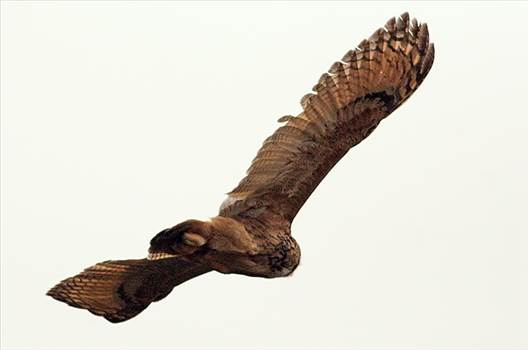 Eurasian-Eagle-Owl_TE.jpg by essydante