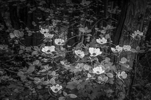 """Dogwoods in Black and White"" by Eddie Zamora"