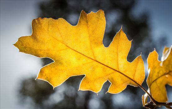 Golden Oak by Eddie Zamora