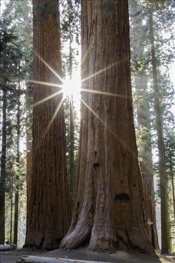 """""""Waldeinsamkeit: Sequoia"""" by Eddie Zamora"""