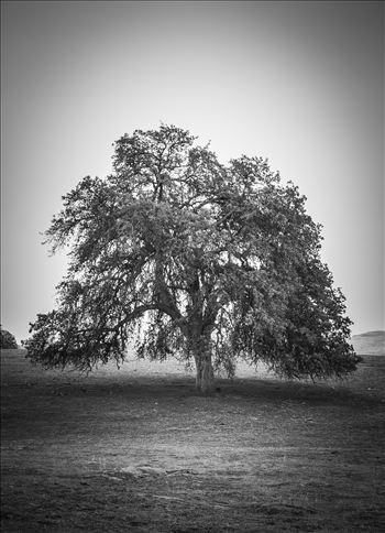 Lonely Oak by Eddie Zamora