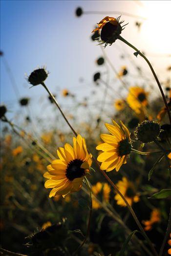 New Mexico Wildflowers by David Verschueren