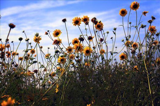 Texas Wildflowers by David Verschueren
