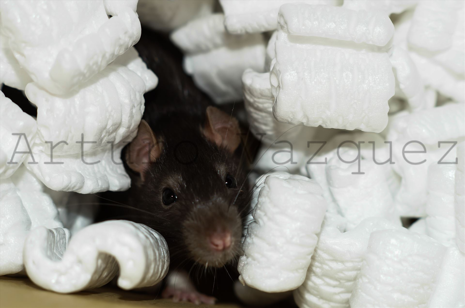 Brown rat in packing peanuts  by ArturoVazquez