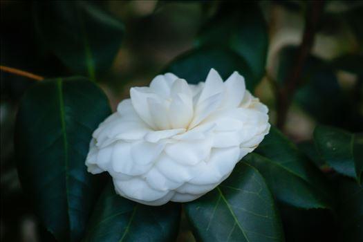 White Summer Flower Bloom.jpg by ArturoVazquez