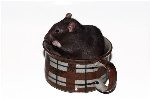 Teacup Rat -