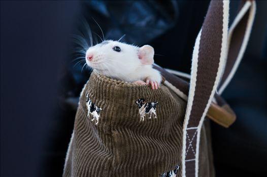 Rat in purse by ArturoVazquez