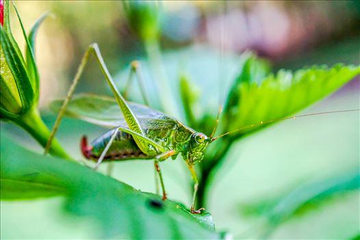 Grasshopper on leaf.jpg by ArturoVazquez