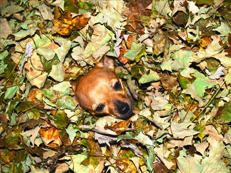 Chihuahua Dog in Autumn Leaves -
