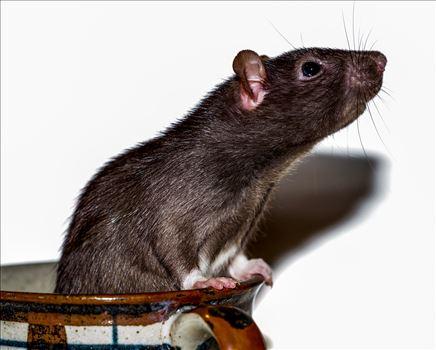 Rat Looking Up From Inside Mug -