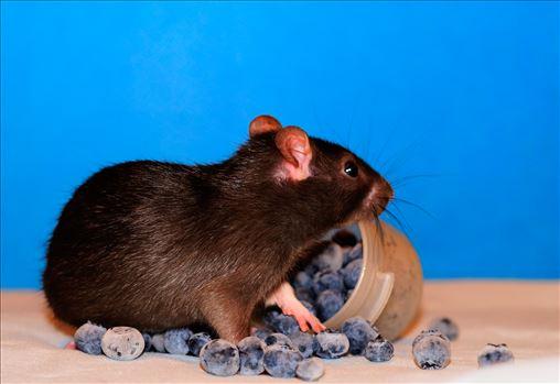 Baby rat in blueberries -