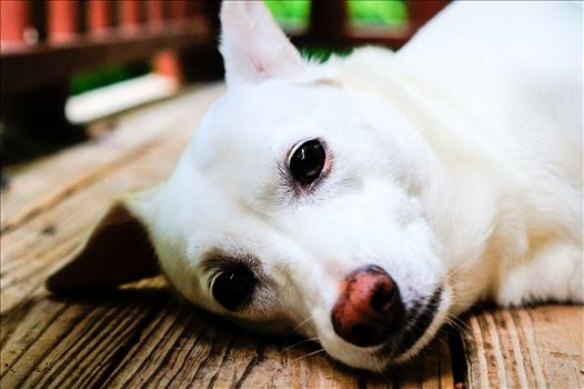 Close up of dog laying on porch by ArturoVazquez